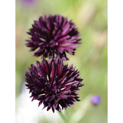 Búzavirág (Centaurea cyanus) - 'Black Boy' virágmag