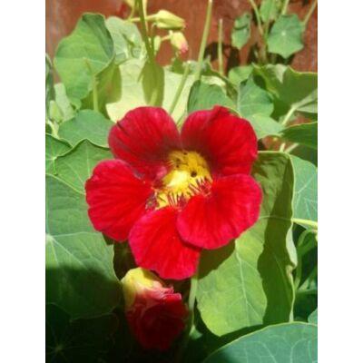 Kerti sarkantyúka (Tropaeolum majus) -  'Cherry Rose Jewel' virágmag