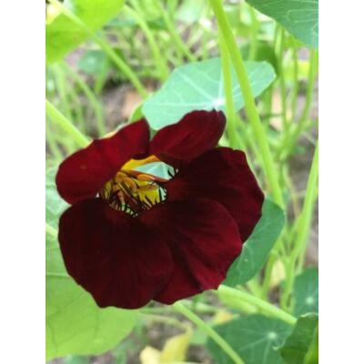 Kerti sarkantyúka (Tropaeolum majus) - 'Black Velvet' virágmag
