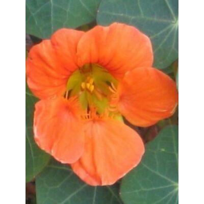 Kerti sarkantyúka (Tropaeolum majus) - 'Vesuvius' virágmag
