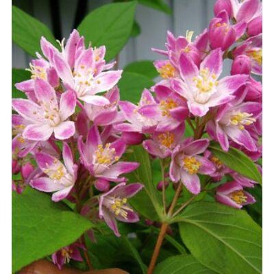 Gyöngyvirágcserje STRAWBERRY FIELDS