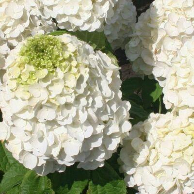 Bugás hortenzia MAGICAL MOONLIGHT ®