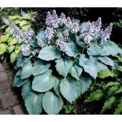 Árnyékliliom (Hosta) - Blue Angel