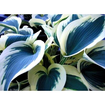 Árnyékliliom (Hosta) - Blue Ivory
