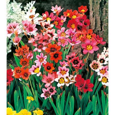 Cigányvirág (Sparaxis) színkeverék