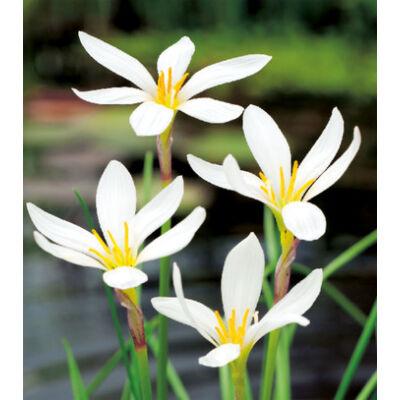 ZEPHYRANTHES - Zefírvirág (fehér)
