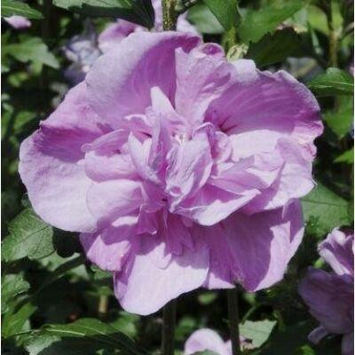 Hibiscus syriacus  - ARDENS