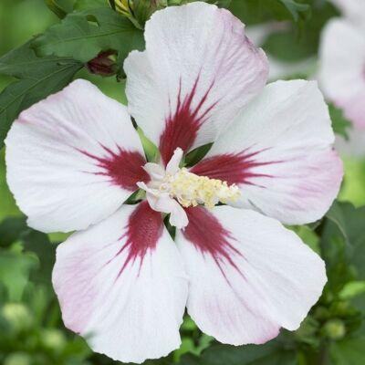 Hibiscus syriacus  - HAMABO