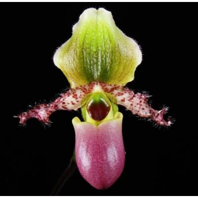Paphiopedilum glaucophyllum papucs orchidea