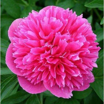 Pünkösdi rózsa 'Rosea Plena'