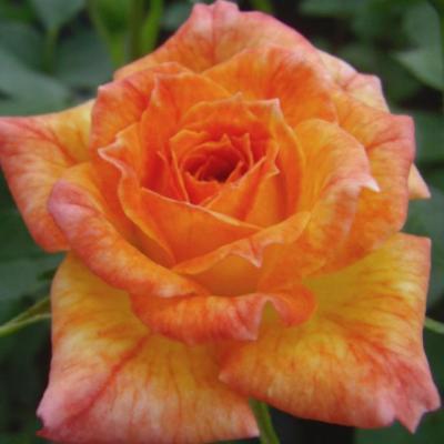 Baby Darling törpe rózsa