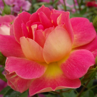 Cleopátra törpe rózsa