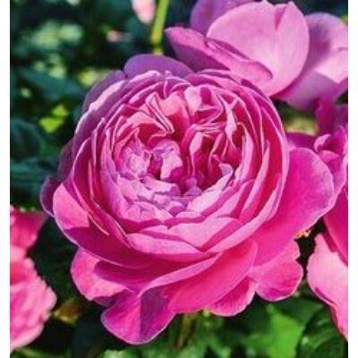 Kölner Flora ® romantikus rózsa