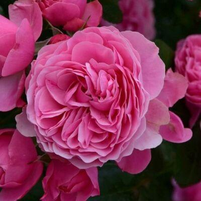 Leonardo de Vinci ® romantikus rózsa