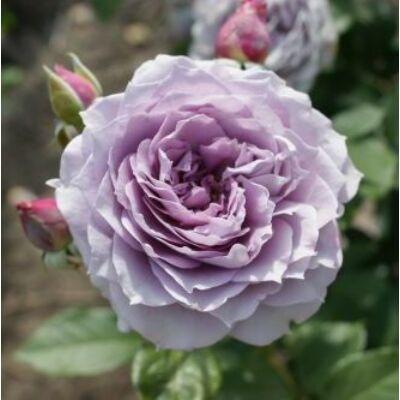Novalis ® romantikus rózsa