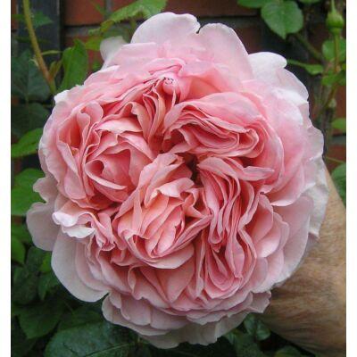 'Candy Rain' romantikus rózsa