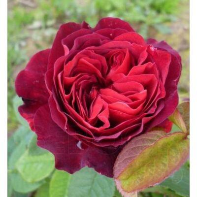 'Leonard Dudley Braithwaite' rózsa