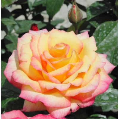 Centennial Star  nemes teahibrid rózsa