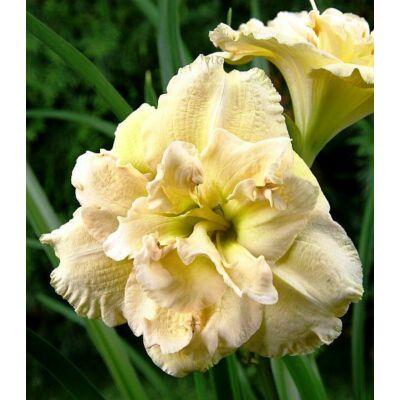 Duplavirágú sásliliom Bowl of Cream