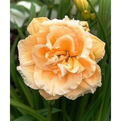Duplavirágú sásliliom Ikebana Star