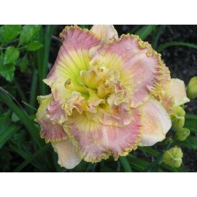 Duplavirágú sásliliom Nature's Crown