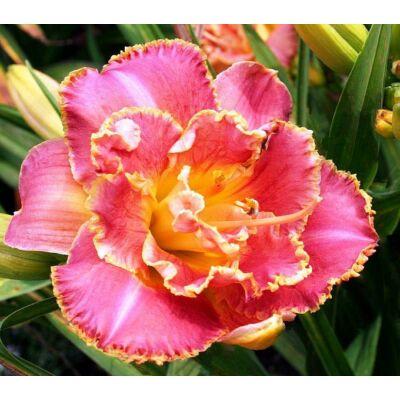 Duplavirágú sásliliom Susan Pritchard Petit