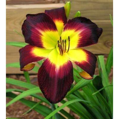 Pókvirágú sásliliom Persian Ruby