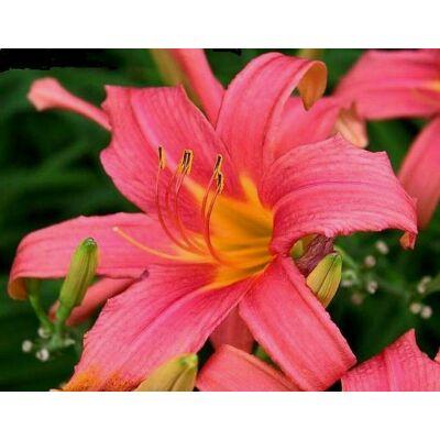 Sásliliom Pink Damask