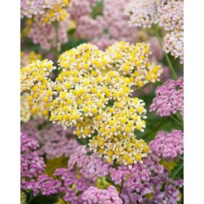 Cickafark - Achillea millefolium, 'Summer Pastels', F2 Hybrid virágmag