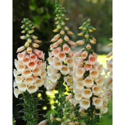 Digitalis purpurea, 'Dalmation' Series, 'Dalmation Peach'