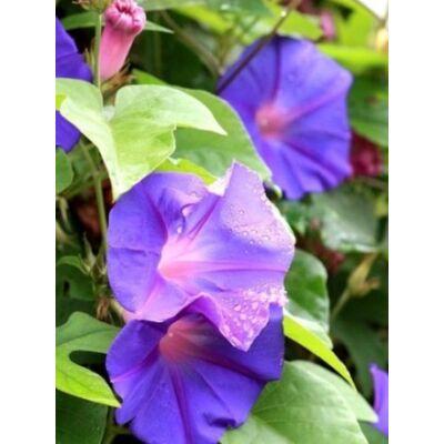 Ipomoea purpurea virágmag