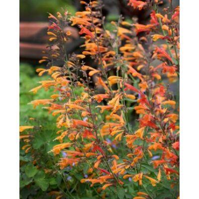 Narancssárga Izsópfű - Agastache aurantiaca virágmag