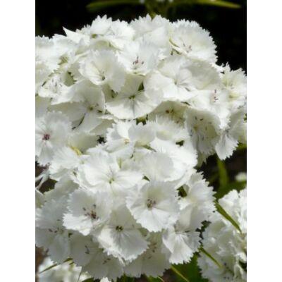 Dianthus barbatus, 'Albus'