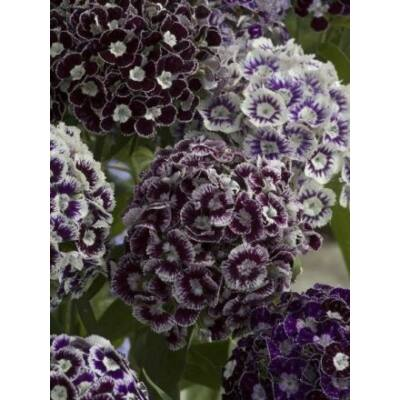 Szegfű - Dianthus barbatus, 'Hollandia Purple Crown' virágmag