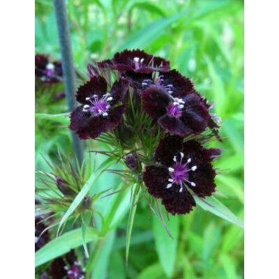 Szegfű - Dianthus barbatus, 'Sooty' virágmag