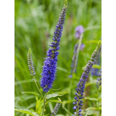 Veronica longifolia, 'Blue Shades'