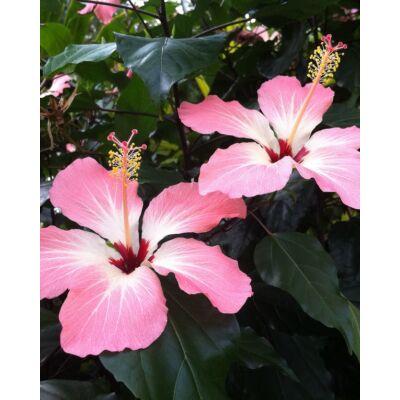 Fiji - hibiszkusz (Hibiscus storckii) mag