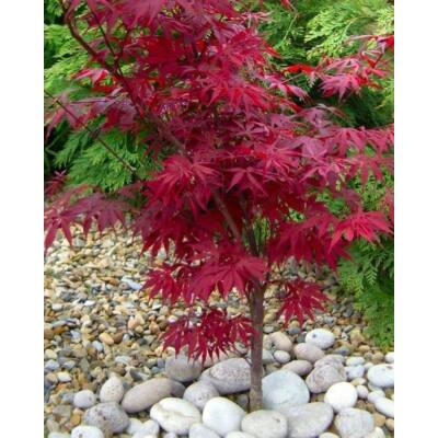 Japán juhar (Acer palmatum) mag