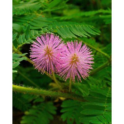 Mimóza (Mimosa pudica) mag