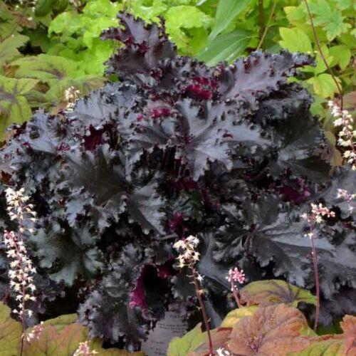 Tűzgyöngyvirág (Heuchera) - Black Taffeta