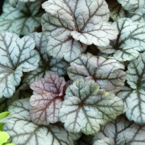 Tűzgyöngyvirág (Heuchera) - Cinnabar Silver