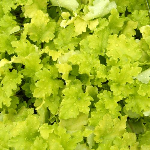 Tűzgyöngyvirág (Heuchera) - Lime Marmalade