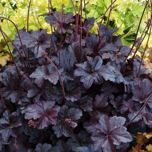 Tűzgyöngyvirág (Heuchera) - Obsidian