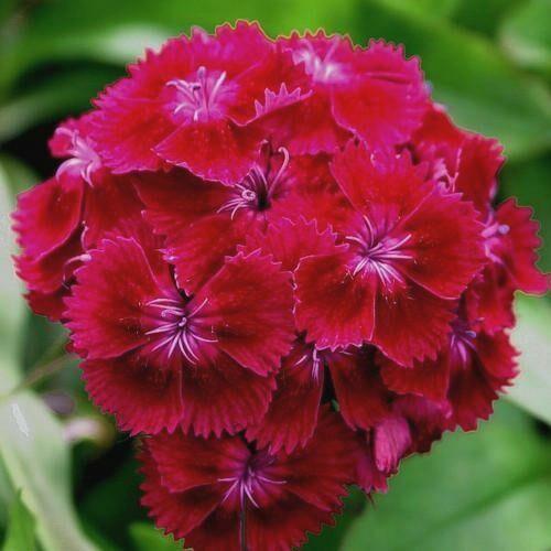 Szegfű - Dianthus barbatus, 'Oeschberg'