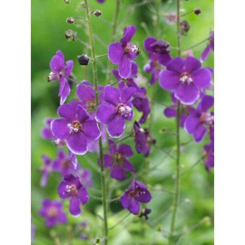 Verbascum phoeniceum, 'Violetta'