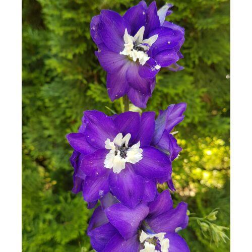 Szarkaláb - Dark Blue White Bee
