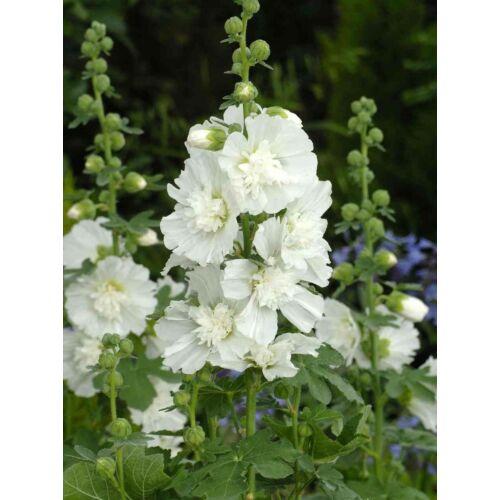 Alcea rosea flore pleno, 'White'