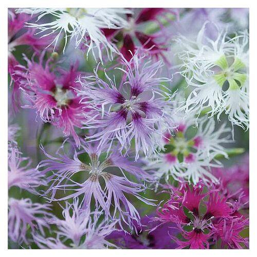 Dianthus plumarius, 'Rainbow Loveliness'