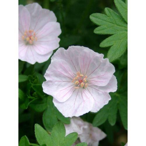 Geránium - Apfelblüte