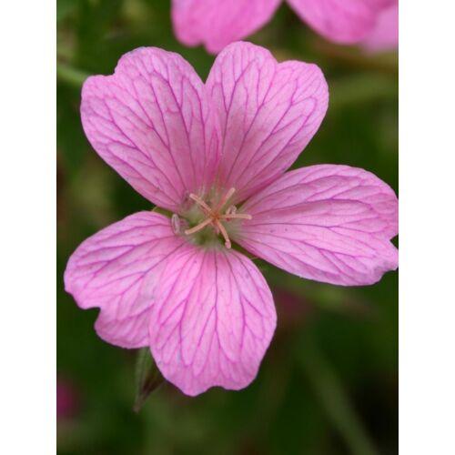 Geránium (Geranium sanguineum)